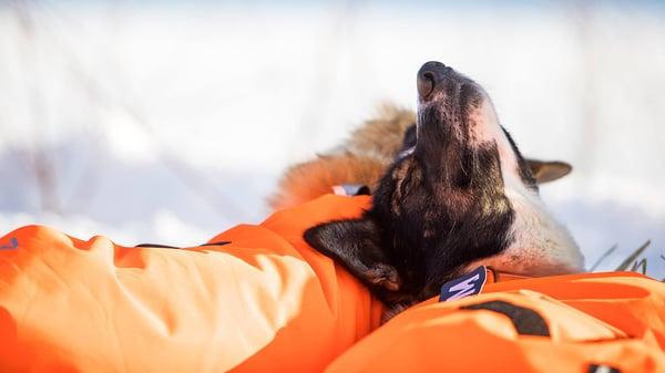 Resting Husky