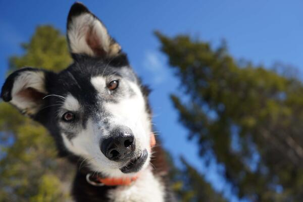 Alaskan Husky Close-up