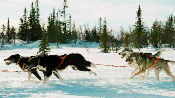Sled dog team