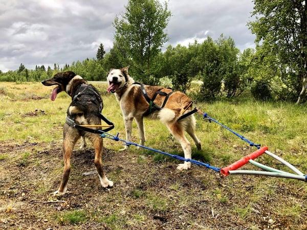 Two huskies ready to run