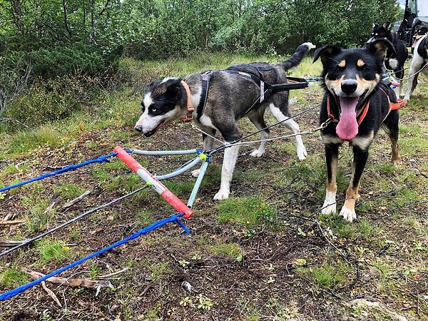 Two mushing dogs on line