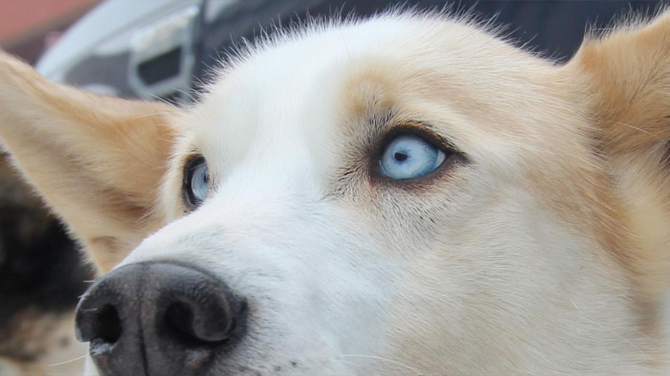 QRILL Pet Mushing Team Dog Marit Team