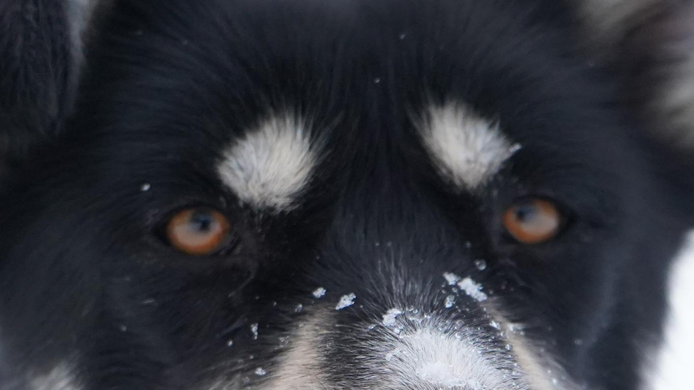 Brown eye Husky