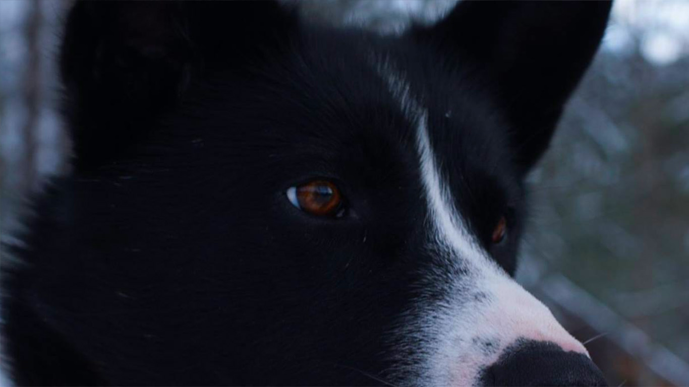 QRILL Pet Mushing Team Dog Lulu