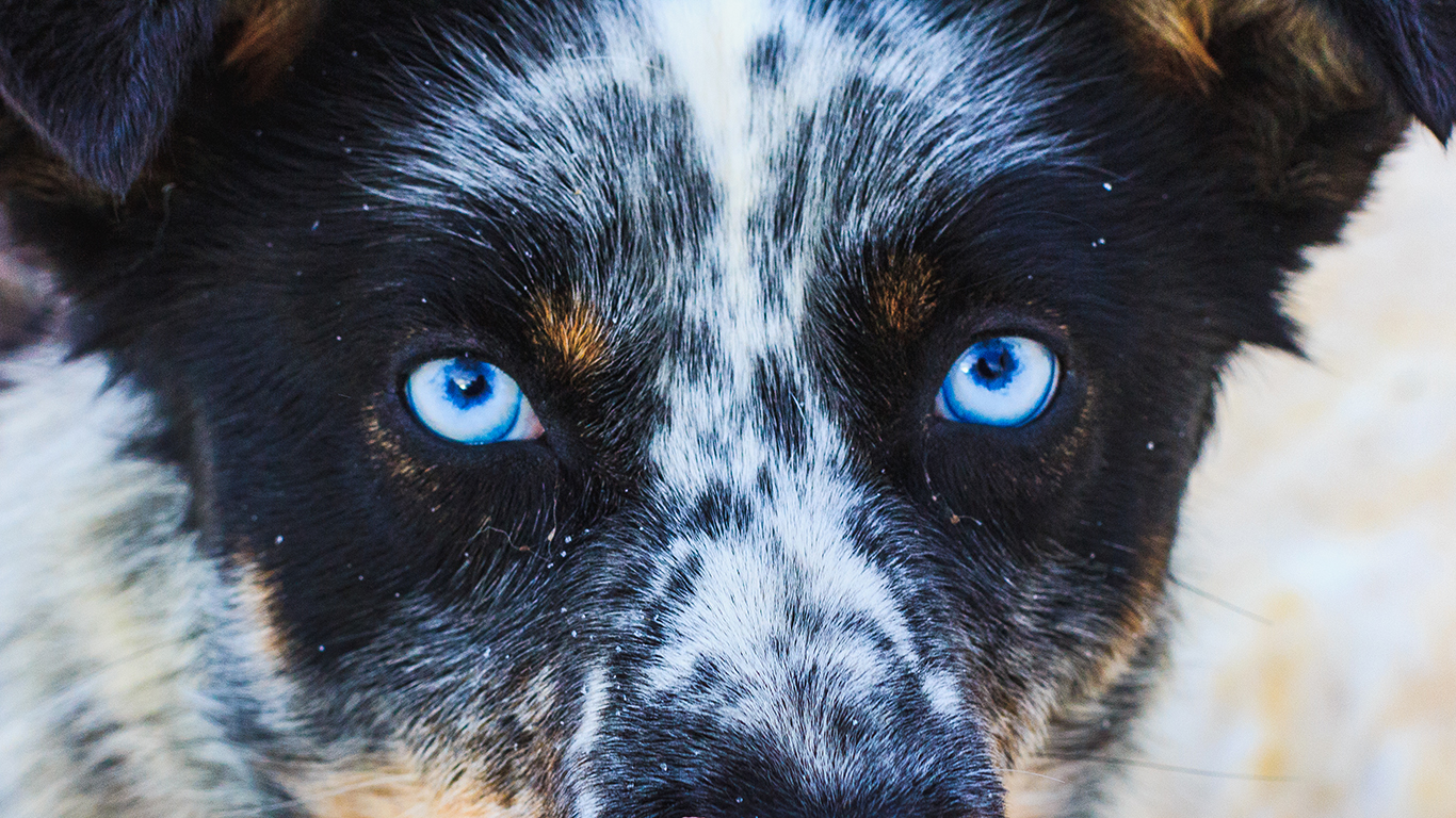 sledgedog (blue eyes)